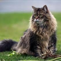Ras kucing maine coon