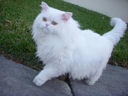 Ras kucing persia