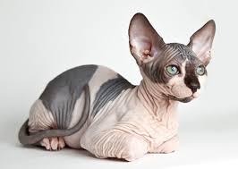Ras kucing sphyx