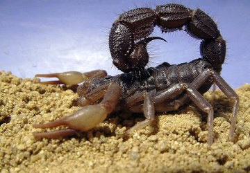 Black Spitting Thicktail Scorpion