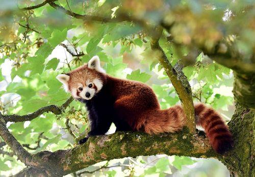 Gambar panda merah
