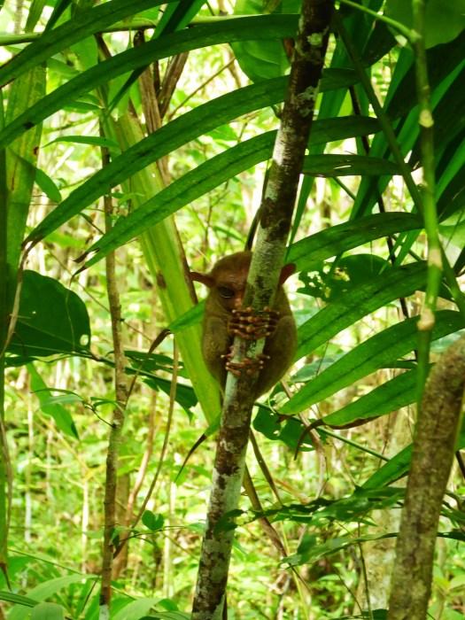 PIcture of a tarsier, the smallest primate.