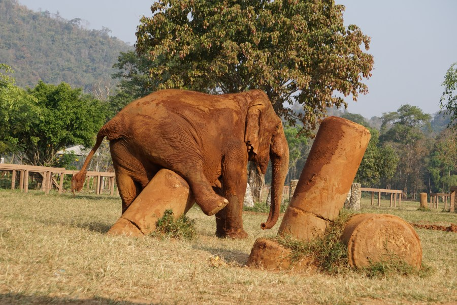Elephant scratching an itch, gentle giants, Elephant Nature Park, Thailand