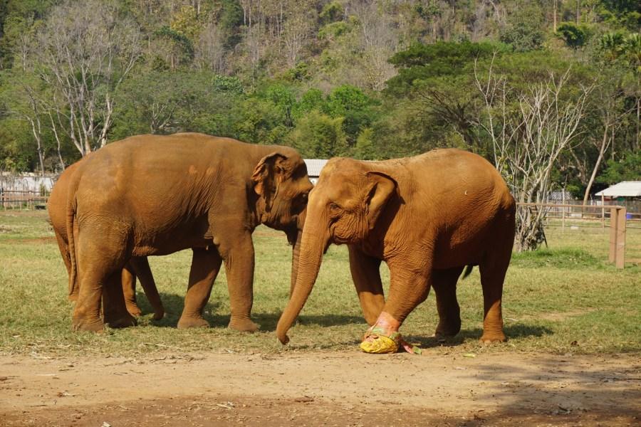 elephant landmine victim, volunteer, responsible tourism, Elephant Nature Park, Thailand
