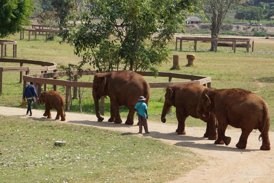Elephants strolling to pasture, Elephant Nature Park, mahout, responsible tourism