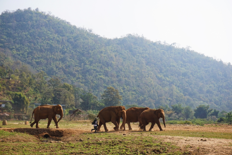 Elephant herd on the move, parade, Elephant Nature Park, Thailand, responsible tourism