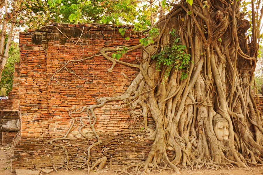 Wat Mahathat in Ayutthaya has a famous buddha head in a tree, Thailand.