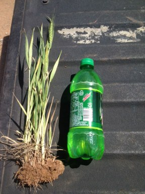 A full wheat plant from one of the Harrises fields next to a 20-ounce soft drink bottle. The wheat has been stunted by a combination of environmental factors.
