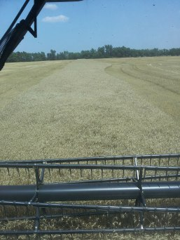 Finishing up a field of wheat.