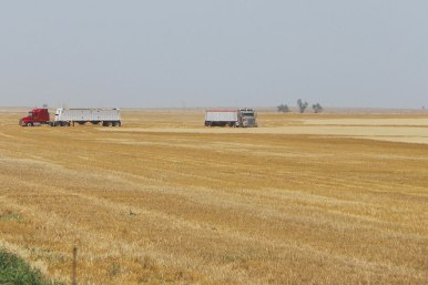 Semi trucks wait in the field for combines to unload wheat.