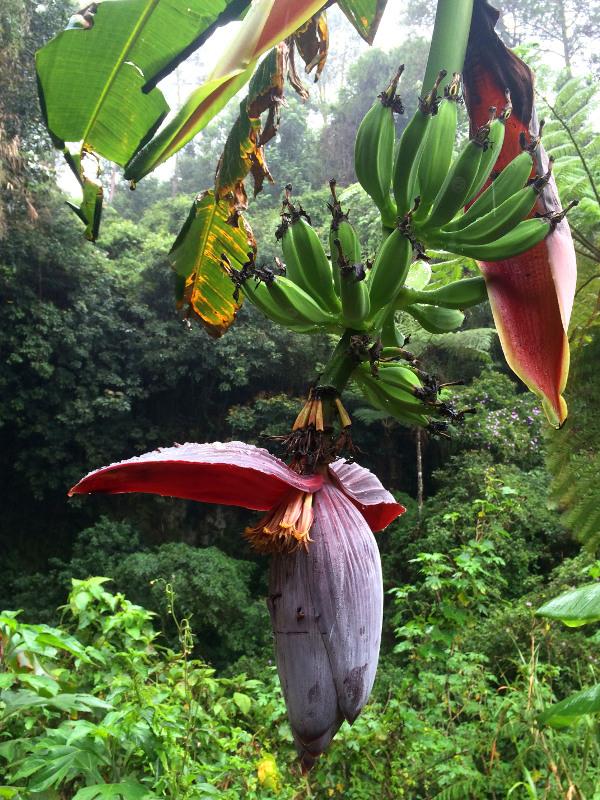 Sagada, kwiat bananowca