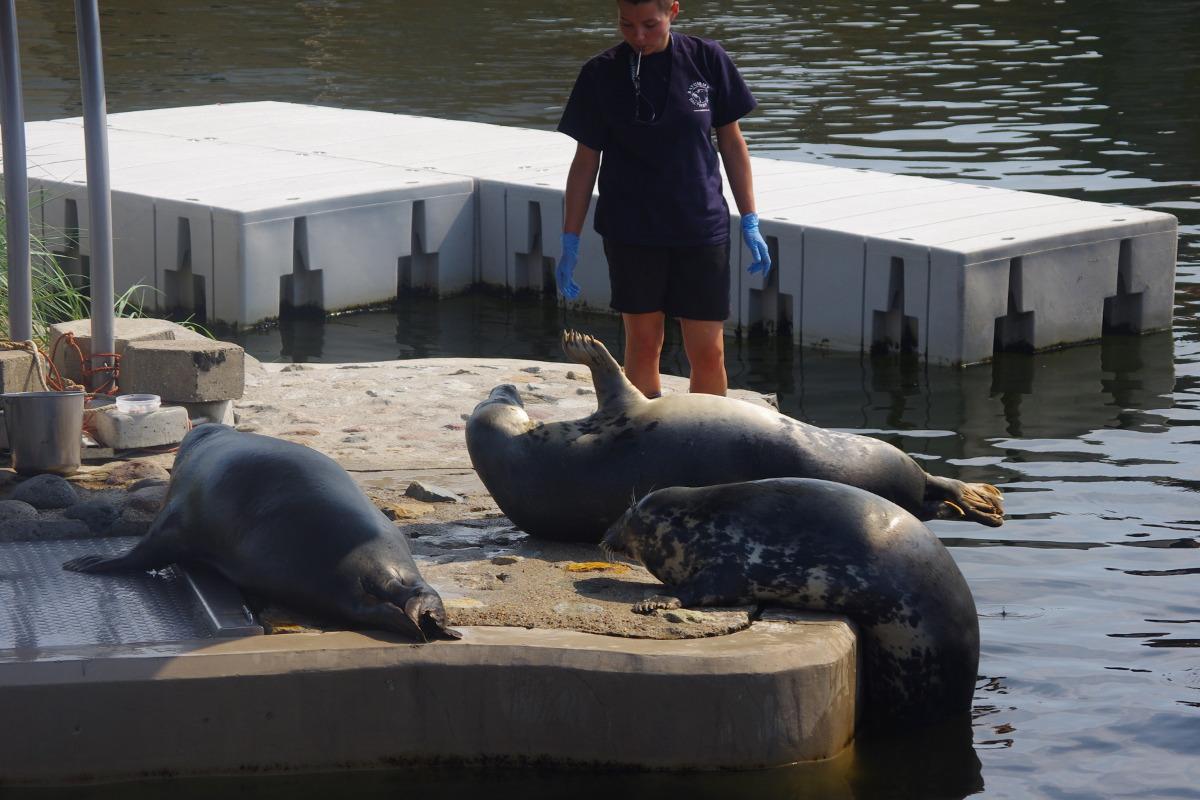 Fokarium, Hel, karmienie fok jest także momentem zabawy i przeglądu zdrowotnego