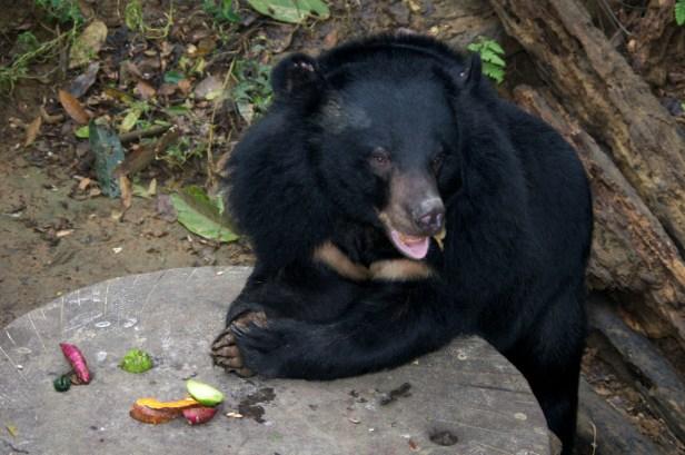 Kuang Si, Laos, niedźwiedź czarny