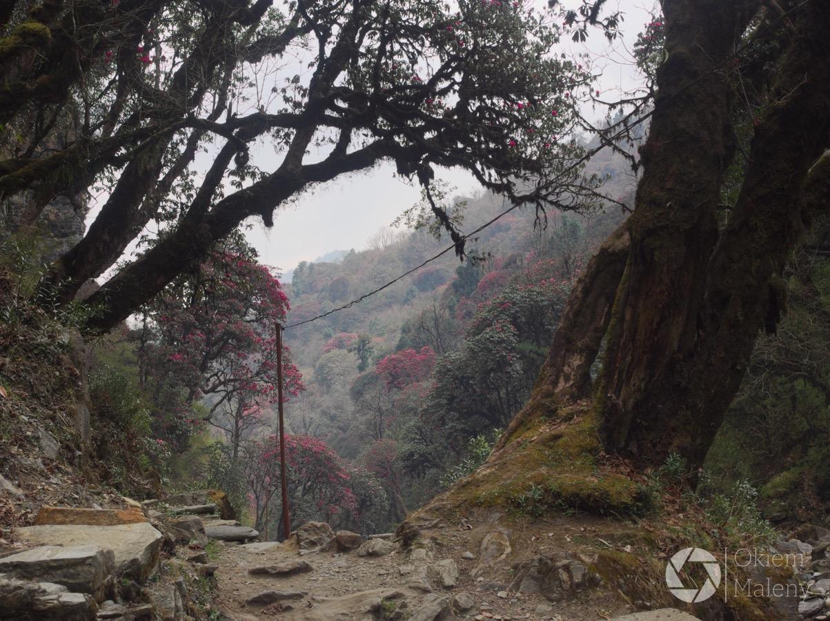 treking w Nepalu, w drodze do Tadapani