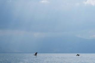 Pelikany na jeziorze Prespa