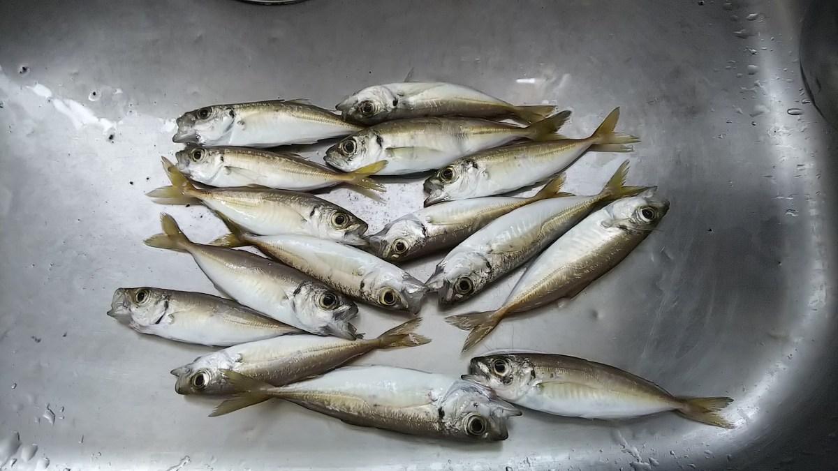 桜島の避難港1番で真鯛が爆釣してました