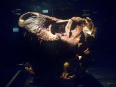The world's largest T-rex Skull ever found! Costs $1.5 million for Singapore Science Centre to loan it for 4 months!