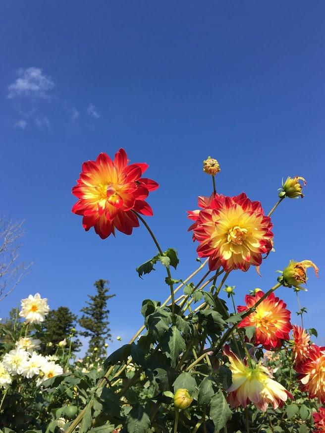 茨城県フラワーパーク(牡丹と青空)