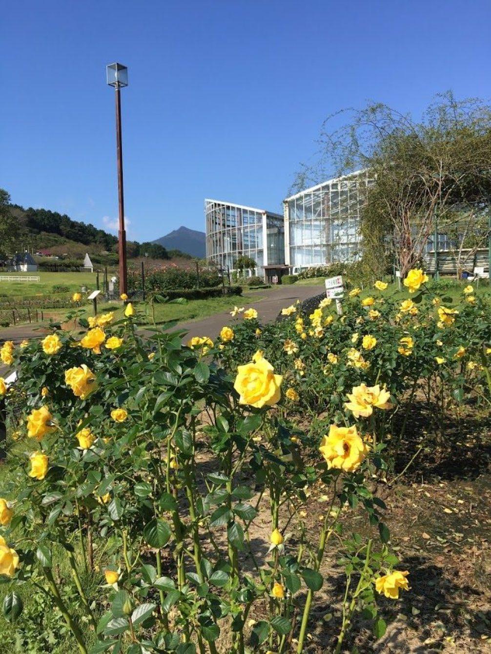 黄バラと温室と筑波山