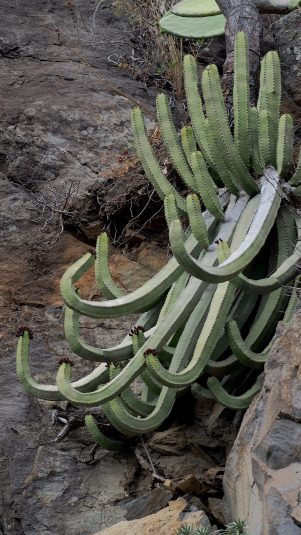 Euphorbia canariensis. Photographed in La Palma. Phtos by Mike Douglas