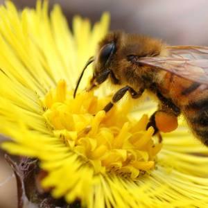 Blomsterblanding – Mad til bierne – økologisk