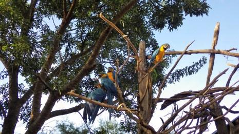 Šarene papige