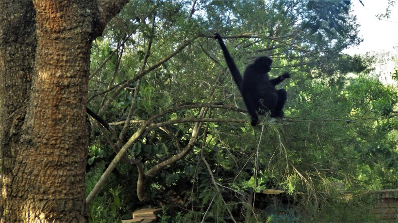 Veliki čudni crni majmun udobno smješten na stablu