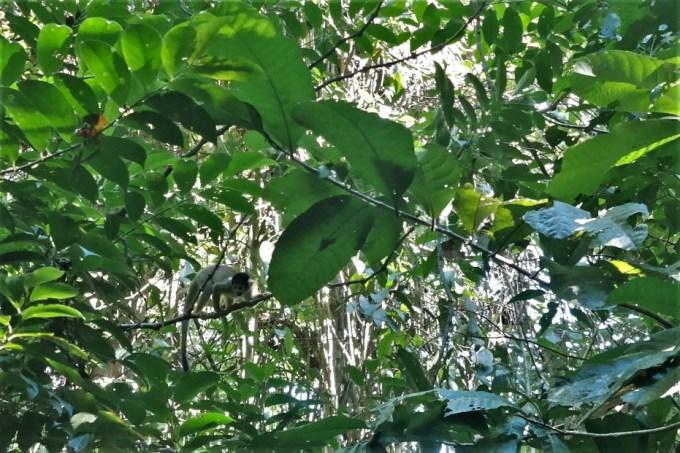 Majmun odmara na stablu i gleda nas.
