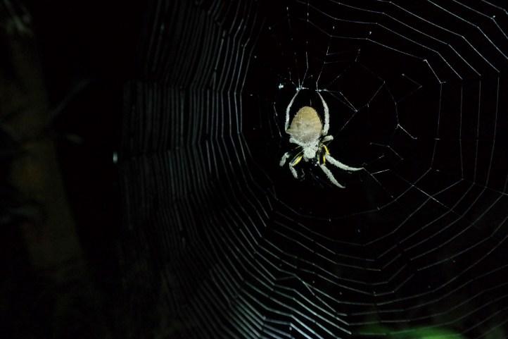 Noćni pauk odmara na mreži