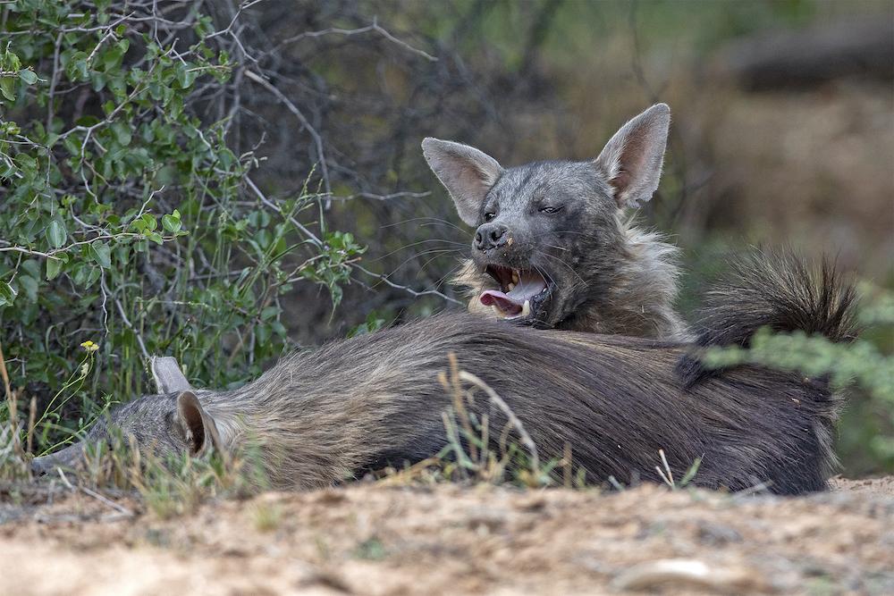 brown hyaena in okonjima nature reserve