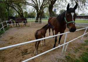 at3 1 300x213 - Atlar nasıl ayakta uyuyabiliyorlar?