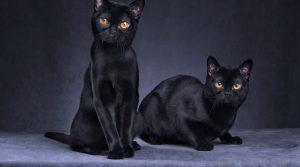 kar3 300x167 - Kara Kedi Geçmesi Niçin Uğursuzluk Getirir?