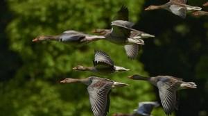 v3 2 300x167 - Kuşlar niçin 'V' şeklinde uçuyorlar?