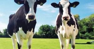 y5 3 300x158 - Yeşil ot yiyen ineklerin sütleri niçin beyazdır?