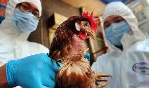 Fransa Kuş Gribi Alarmı, OkuGit.Com - Tarih, Güncel, Kadın, Sağlık, Moda Bilgileri Genel Bloğu