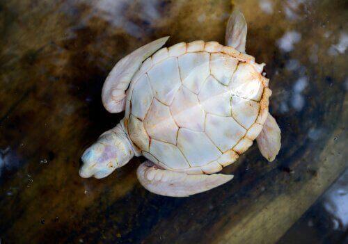 beyaz kaplumbaga - İlginç Canlılar
