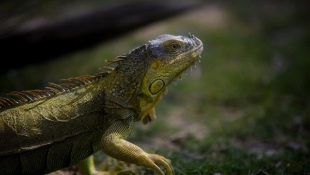 """halk diken ustunde abdnin florida eyaletinde gokten iguana yagiyor 0 kHgGegD1 - ABD'nin Florida eyaletinde gökten """"iguana"""" yağıyor"""