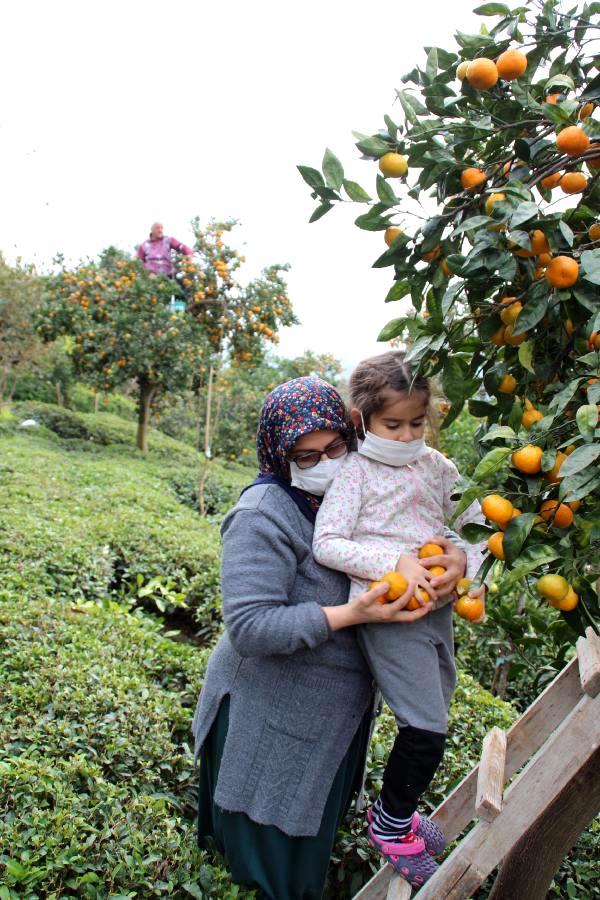 Rize'de mandalina hasadı başladı, okugit