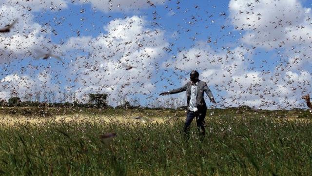 tehdit buyuyor cekirgeler bu kez kenyanin 15 ilcesini istila etti 1 guLY1pHj - Tehdit büyüyor! Çekirgeler bu kez Kenya'nın 15 ilçesini istila etti