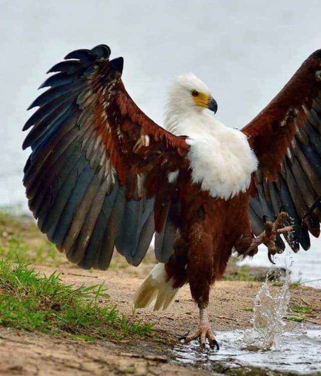 African fish eagle - The Most Beatiful Birds - En Güzel Kuşlar