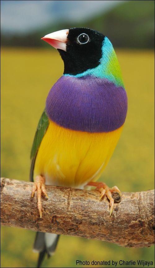 Australian Lady Gouldian Finch - The Most Beatiful Birds - En Güzel Kuşlar