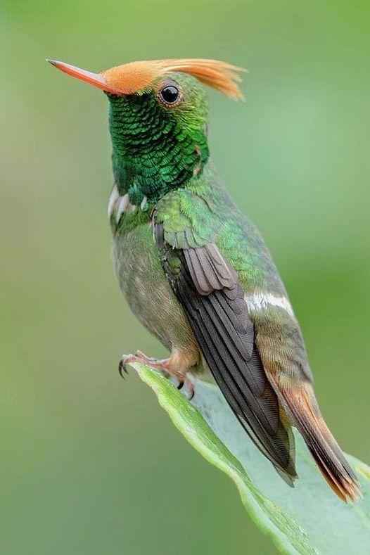 Bee Hummingbird - The Most Beatiful Birds - En Güzel Kuşlar
