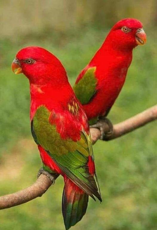 Chattering Lory - The Most Beatiful Birds - En Güzel Kuşlar