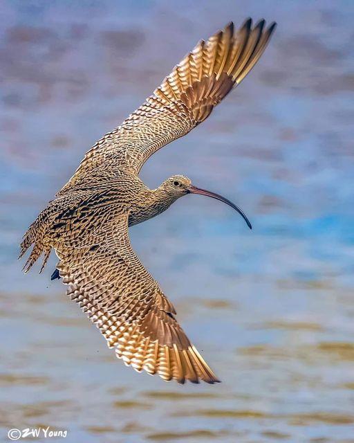 Far Eastern Curlew - The Most Beatiful Birds - En Güzel Kuşlar