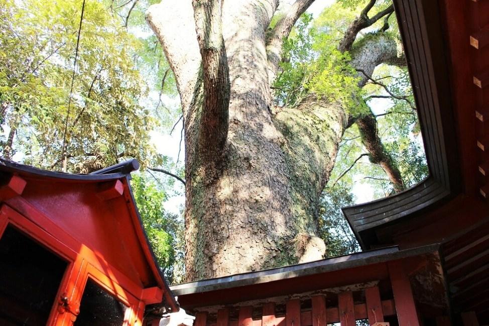 赤えいが宿ったという樹齢約800年の楠木の御神木
