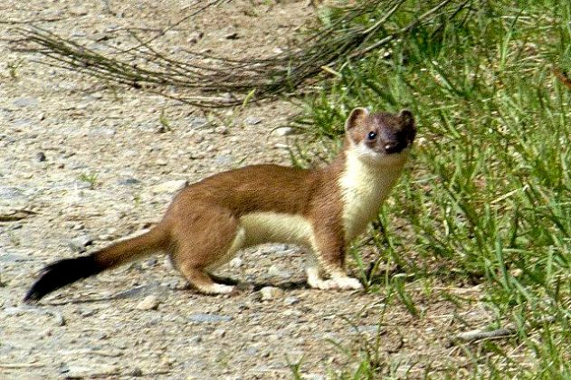 stoat-or-weasel-2-autumn2016