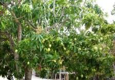 Jika Anda beruntung datang di saat musim buah, pemandangan lainnya bisa Anda nikmati, dimana jejeran pohon mangga ada di setiap rumah warganya. Jumlahnya tidak cuma puluhan, tapi ratusan.