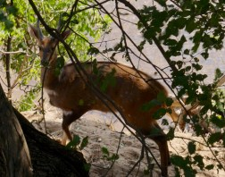 male springbuck grazing on the river bed