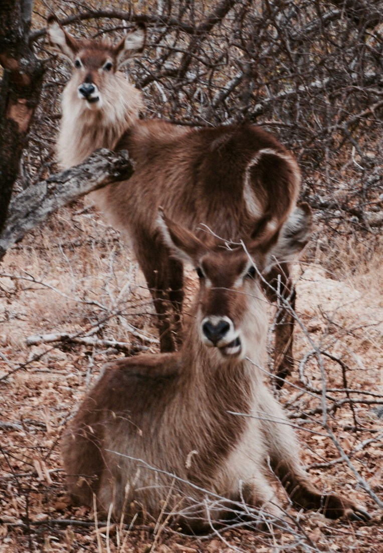 synchronized chewing-waterbuck
