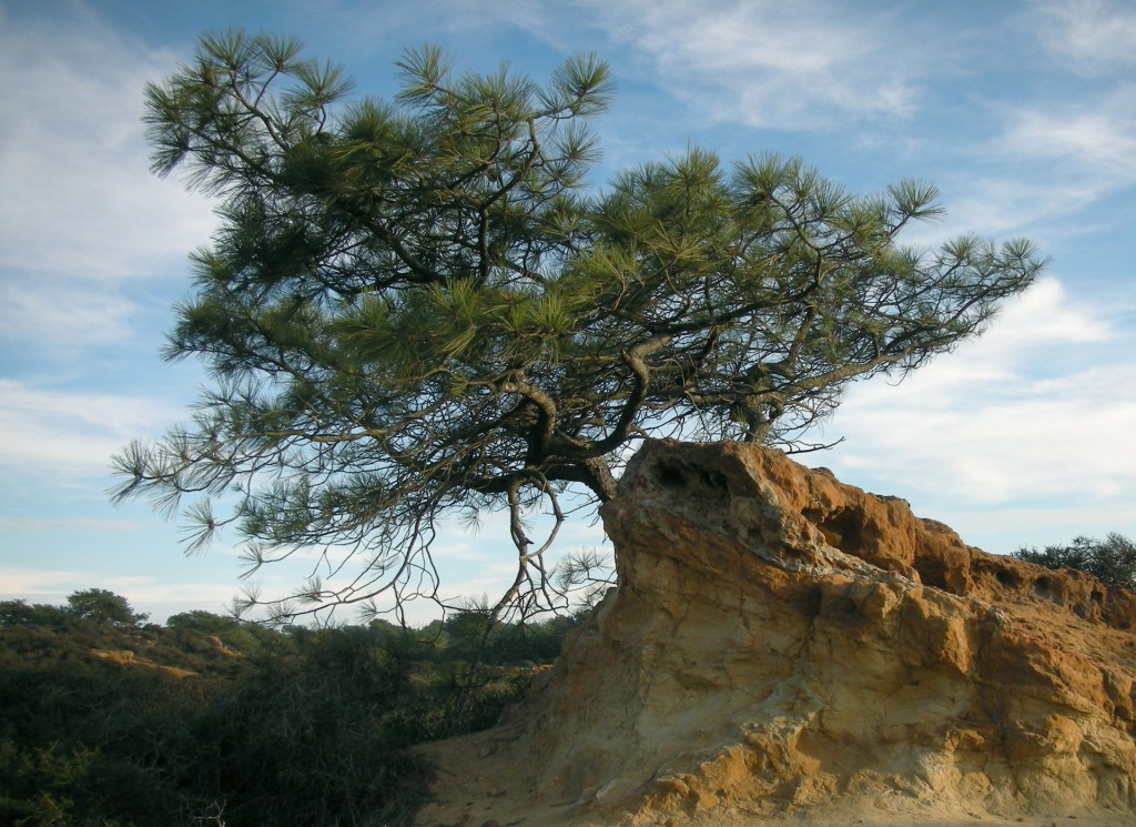 Torrey Pine and Red Rock